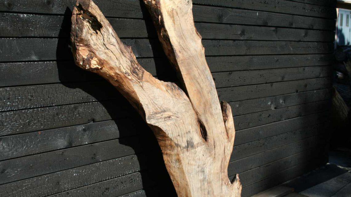 Trüffelbuche Ein Holz für den Feinschmecker