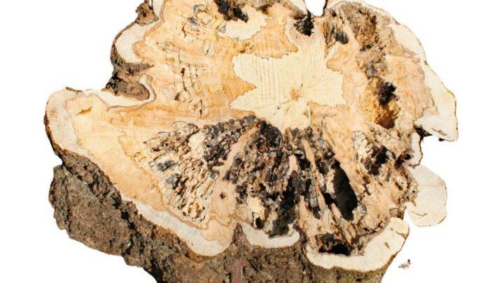 Maserknolle Baumscheibe