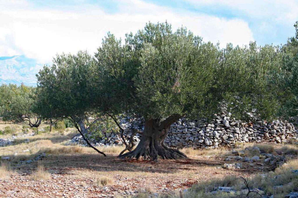 Olivenbaum entdeckt in Kroatien