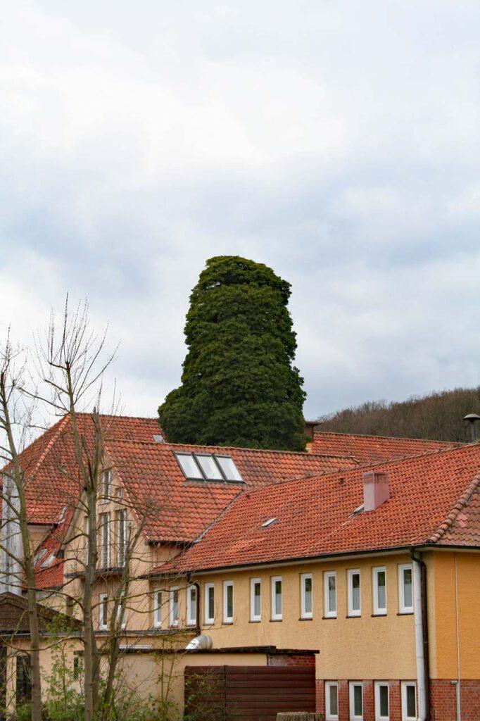 Baumkrone über den Dächern